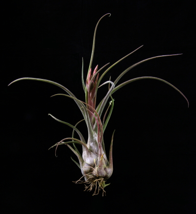 Plant Oddities Tillandsia Seleriana Purple Hybrid